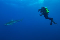 Giant tiger shark Royalty Free Stock Images