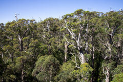 A giant tingle forest view from a Tree Top Walk bridge Royalty Free Stock Photos