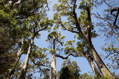 Giant tingle trees near Walpole Royalty Free Stock Photos