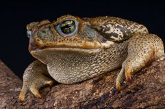 Giant toad. The giant toad, Bufo marinus, is a very succesfull species and has been introduced around the world to control the sugarcane beetle, in which it Royalty Free Stock Photo