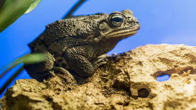 Giant Toad Stock Photography