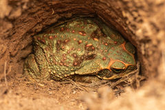 Giant Toad Stock Image