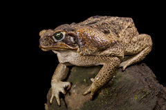 Giant toad, Rhinella marina Stock Photography