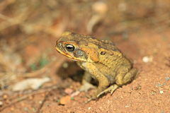 Giant toad Royalty Free Stock Image