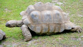 Giant tortoise 1 Royalty Free Stock Image