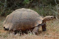Giant Tortoise. Active moving mountain tortoise Bergskilpad - Geochelone pardalis or Leopard Tortoise showing action by eating a green leaf in a game park in Royalty Free Stock Photography