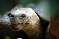 Giant Tortoise. Closeup through leaves of a giant tortoise Royalty Free Stock Photo