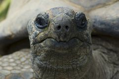 Giant tortoise. Looking at you, sharp on the nose stock photos