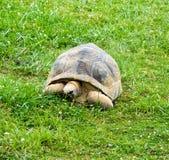 Giant Tortoise Stock Image