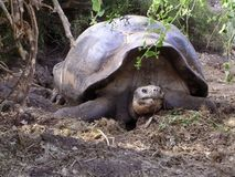 Giant tortoise. A giant tortoise on the Galapagos royalty free stock image
