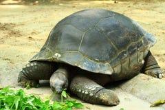 Giant Tortoise. A giant tortoise eating green vegetable stock photography