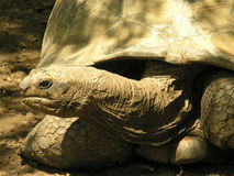Giant Tortoise 2 Stock Photo