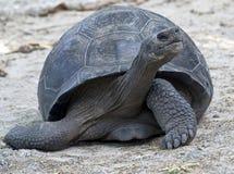 Giant tortoise 2. Galapagos tortoise. Latin name - Geochelone nigra Royalty Free Stock Image