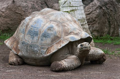 Giant tortoise. Incredible giant turtle with a palm tree Stock Photo