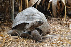 Giant tortoise Royalty Free Stock Photo
