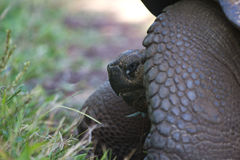 Giant Tortoise. A giant Galapagos Tortoise from the side Royalty Free Stock Photography