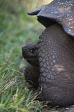 Giant Tortoise. A giant tortoise on the galapagos islands Stock Image