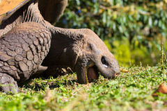Giant Tortoise. A giant tortoise eating on the galapagos islands Stock Photography