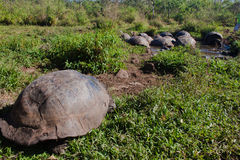 Giant Tortoise. A group of giant tortoises on the galapagos islands Royalty Free Stock Photo
