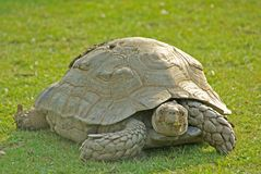 Giant Tortoise. From the Aldabra Islands in the Indian Ocean royalty free stock images
