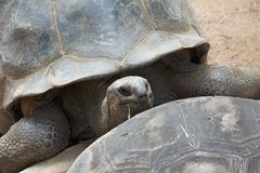 Giant tortoise. Old giant tortoise of the Seychelles islands looking over its mate's carapace Royalty Free Stock Photo