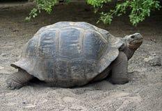 Giant tortoise 3. Giant tortoise. Tortoise reproduction center. Isabela island, Galapagos Royalty Free Stock Photography