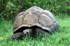 A Giant Tortoise royalty free stock photography