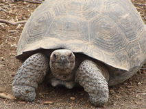 Giant Tortoise. In the Galapagos Islands stock image