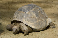 Giant Tortoise. A giant tortoise at the Singapore Zoo Royalty Free Stock Image
