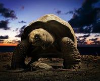 Giant tortoise. Aldabrachelys elephantina  syn. Geochelone gigantea, Dypsochelys elephantina, Dypsochelys dussumieri, portrait, Bird island, Seychelles, Africa Royalty Free Stock Photography