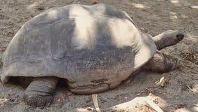 Adult giant tortoise runs away on the Seychelles stock photo