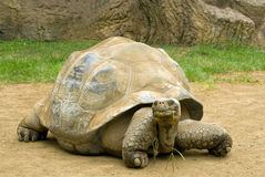 A giant tortoise chewing grass Royalty Free Stock Photo