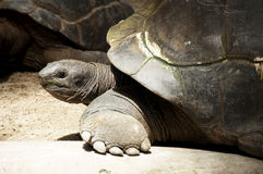 Giant Tortoise. A close up of a giant tortoise Royalty Free Stock Images