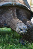 Giant tortoise Royalty Free Stock Image