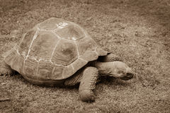 Giant tortoise close up resting on a ground in the zoo. Sepia ph Royalty Free Stock Photo