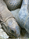 Giant tortoise (Aldabrachelys gigantea) Stock Photos