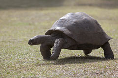 Giant tortoise at Curieuse island, Seychelles Royalty Free Stock Photography