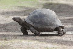 Giant tortoise at Curieuse island, Seychelles Stock Photography