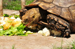 Giant Tortoise Eating Royalty Free Stock Image