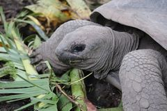 Giant tortoise eating palm leaf. In royalty free stock images