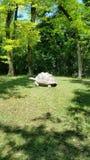 Giant tortoise. Enjoying stroll on sunny day Royalty Free Stock Images