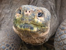 Giant tortoise ET head Royalty Free Stock Photo