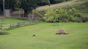 Giant Tortoise Feeding on Grass in Mauritius stock video