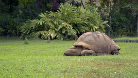 Giant tortoise feeding on grass in Mauritius park stock footage