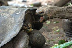 Giant tortoise fight, Galapagos. Giant tortoise fight on food, Galapagos Royalty Free Stock Photography