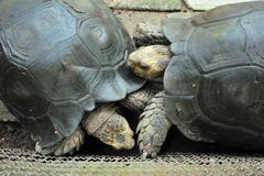 Giant tortoise fighting stock photo