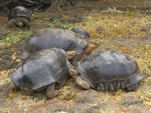 Giant Tortoise Royalty Free Stock Image