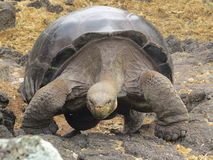 Giant Tortoise. In the Galapagos Islands royalty free stock photos