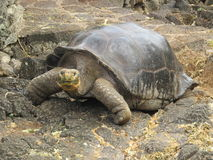 Giant Tortoise. In the Galapagos Islands royalty free stock image