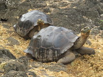 Giant Tortoise. In the Galapagos Islands stock images